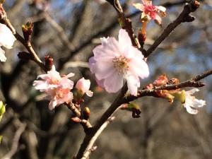 神代植物公園 十月桜