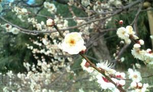 神代植物公園の梅の花。春が近づいています。