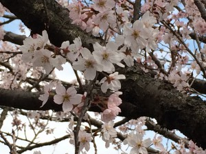神代植物公園の桜